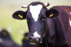 Cow on the farm Stock Photography