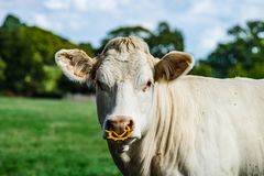 Cow Farm. Close Up Of Cows Head Grazing At Field Stock Photos