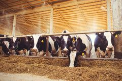 Cow farm concept of agriculture, agriculture and livestock - a herd of cows who use hay in a barn on a dairy farm.  stock photos