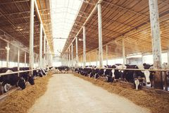 Cow farm concept of agriculture, agriculture and livestock - a herd of cows who use hay in a barn on a dairy farm.  stock image