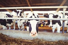 Cow farm concept of agriculture, agriculture and livestock - a herd of cows who use hay in a barn on a dairy farm.  Stock Photography