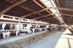 Cow farm concept of agriculture, agriculture and livestock - a herd of cows who use hay in a barn on a dairy farm.  Royalty Free Stock Photography