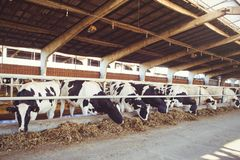 Cow farm concept of agriculture, agriculture and livestock - a herd of cows who use hay in a barn on a dairy farm.  Royalty Free Stock Photo