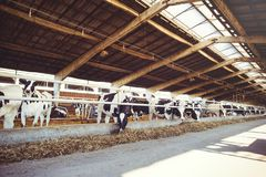 Cow farm concept of agriculture, agriculture and livestock - a herd of cows who use hay in a barn on a dairy farm stock image