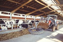 Cow farm concept of agriculture, agriculture and livestock - a herd of cows who use hay in a barn on a dairy farm, the technique c. Arries food Royalty Free Stock Photo