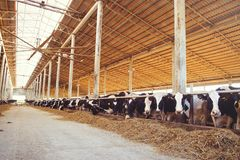 Free Cow Farm Concept Of Agriculture, Agriculture And Livestock - A Herd Of Cows Who Use Hay In A Barn On A Dairy Farm Stock Photo - 110153830
