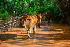 Cow farm countryside Stock Images