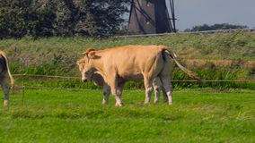 Cow on a farm stock video footage
