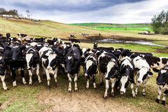 Cow farm. Cows grouped together on a dairy farm in South Africa stock photography