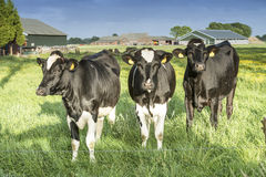 Cow on a farm Stock Photo