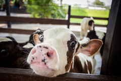 Cow in farm Stock Image