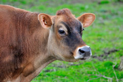 A cow in a farm Royalty Free Stock Photo
