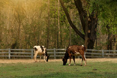 Cow at farm. Royalty Free Stock Photography
