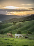 Cow farm in Lithgow west of Sydney Stock Image