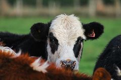 Cow on farm looking to camera, in Methven, South Island, New Zealand stock image