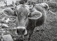 Cow on a farm. Looks at you Stock Photography