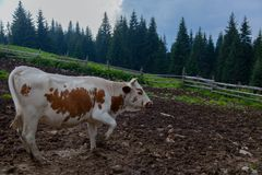 Cows on a high mountain farm in summer. Cow on a farm in the mountains before milking after grazing royalty free stock photos