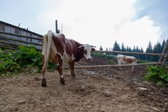 Cows on a high mountain farm in summer. Cow on a farm in the mountains before milking after grazing stock photography