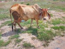 Cow. Farm nature animal calf bovine royalty free stock image