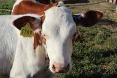 A cow on a farm with a number looks at the camera stock images