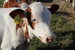 A cow on a farm with a number looks at the camera and is sad because it will soon be eaten stock images
