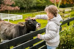 A cow on a farm. Outdoor portrait of kids taking care and feeding a cow on a farm royalty free stock photography