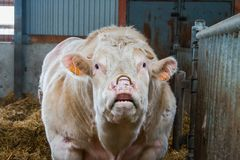 Cow farm producing Royalty Free Stock Image