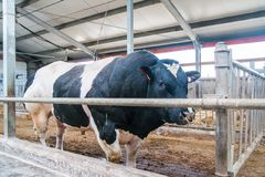 Cow farm producing Royalty Free Stock Photography