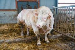 Cow farm producing Stock Photos