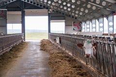 Cow farm producing Royalty Free Stock Photo