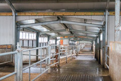 Cow farm producing Stock Photography