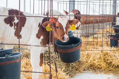 Cow farm producing Stock Images