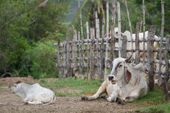 Cow farm in Thailand Royalty Free Stock Photography
