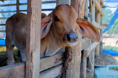 Cow in farm. Cow Farm in Thailand farming is a class of agriculture royalty free stock photography