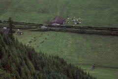 Cow farm in a valley near Sete Cidades Lakes, Sao Miguel Island, Azores, Portugal