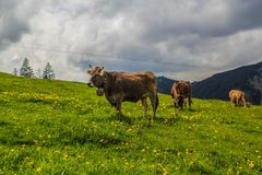 Cattle on the hill. Cow farming on the top of Alps mountain at south of Germany Royalty Free Stock Image