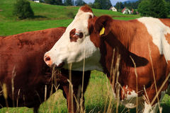 Cow on farmland Royalty Free Stock Image