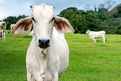 Cow in a farmland Royalty Free Stock Photo