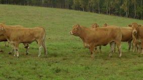 Cow on farmland. Deep red cow on farmland stock video footage