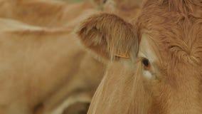 Cow on farmland. Deep red cow on farmland stock video
