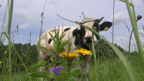 Cow on farmland field and flies stock video