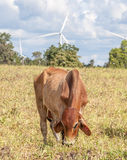 The cow in farmland is grazing next to windmill farm on a bright Royalty Free Stock Photos