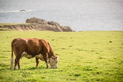 Cow and the Farmland Royalty Free Stock Photography