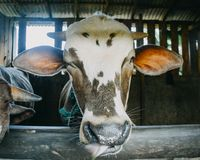 Close up cow head in cage. The cow at the farmyard is taken close to his head royalty free stock images