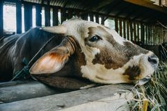 Close up cow head in cage. The cow at the farmyard is taken close to his head royalty free stock photos