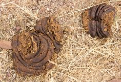 Cow feces on the ground. In the park in nature Stock Images