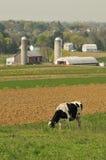Cow feeding stock photo