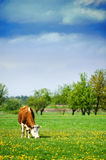 Cow feeding. In a field of grass royalty free stock photos