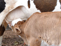 Cow feeding 3 stock image