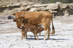 Cow feeding a calf. On a beach in South Sardinia, Italy Stock Images